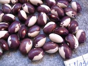 Lilaschecke pole bean