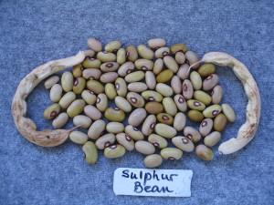 Sulphur bean