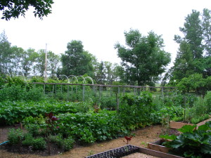 Tomatoes this summer