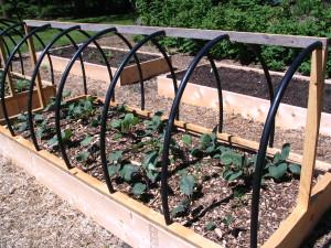 Cabbage var. this spring
