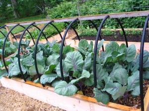 Cabbage var. this summer