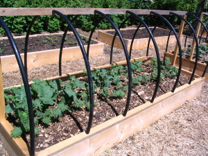 Kale varieties this spring