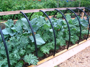 Kale varieties this summer