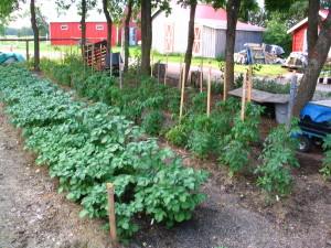 Another conventional grown potato patch with #3 lot of tomato plants in the back.