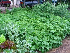 Bean patch this summer