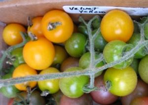 Tomato Velvet Yellow