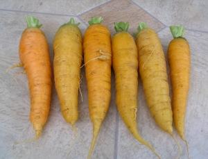Carrot Yellow Solar