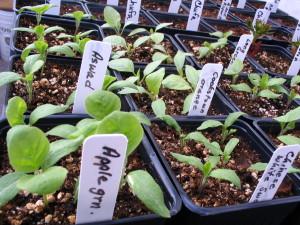 Eggplants for sale!