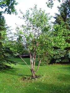 Battleford tree