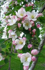 Japanese cross blooming
