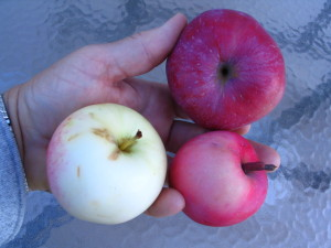 Kirk, Japanese Red and Japanese cross apple