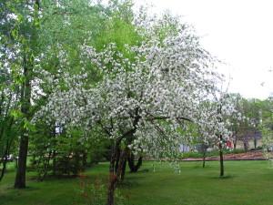 Trailman blooming