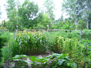 Corn Orchard Baby, varieties of Peas with a variety of Pumpkin in front.