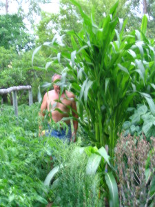 My hubby is trying the navigate through my 10 ft. Morado corn. I am afraid of predicted winds arriving!