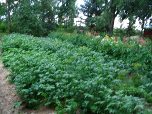 These were the potatoes planted under hay mulch. They bloomed ahead of the conventionally planted potatoes...!