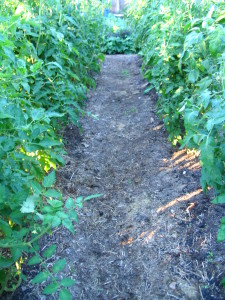 One of 11 rows of tomato plants