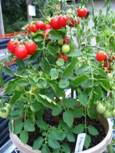 Tomato Ditmarscher