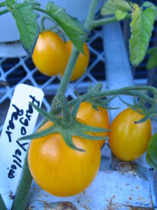 Tomato Fargo Yellow Pear