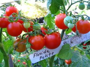 Tomato Florida Petite