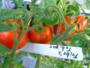 Tomato Tribe's Tobique