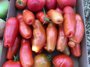 tomato-auria-16-0